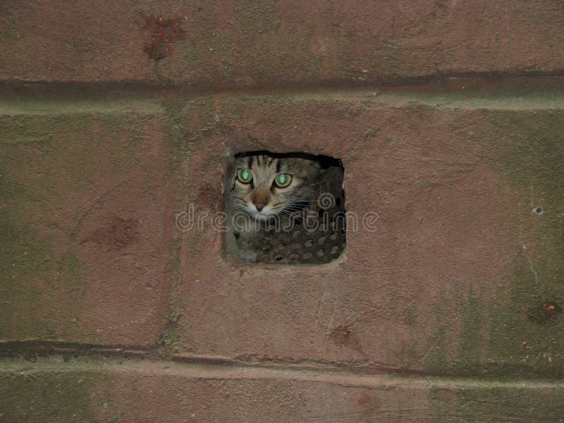 De bang gemaakte kat verborg in de kelderverdiepingsopening stock foto