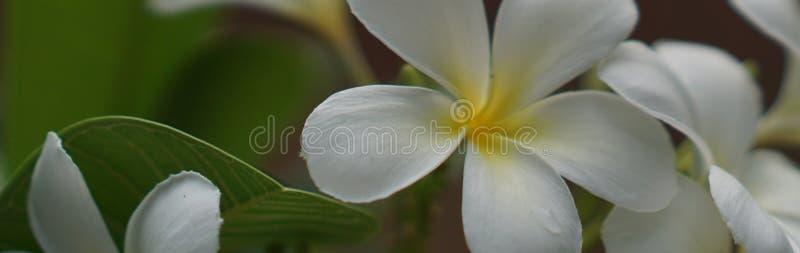 De banners, Champa-bloemen zijn beschikbaar voor uw bericht, voor Web stock foto's