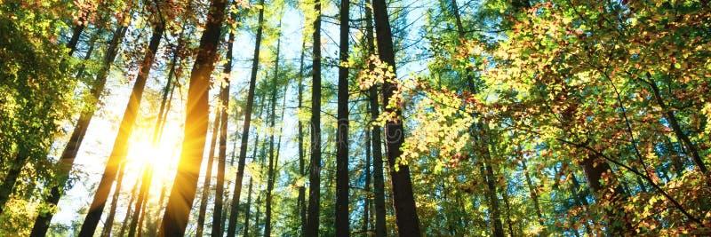 3:1 de bannière Cimes d'arbre d'automne dans le ciel et la lumi?re du soleil de for?t de chute par les branches d'arbre d'automne photographie stock libre de droits