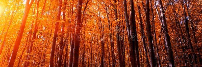 3:1 de banni?re Cimes d'arbre d'automne dans le ciel et la lumi?re du soleil de for?t de chute par les branches d'arbre d'automne image libre de droits