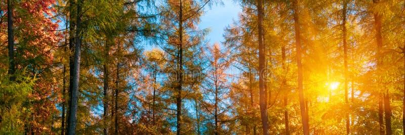 3:1 de banni?re Cimes d'arbre d'automne dans le ciel et la lumi?re du soleil de for?t de chute par les branches d'arbre d'automne photo stock