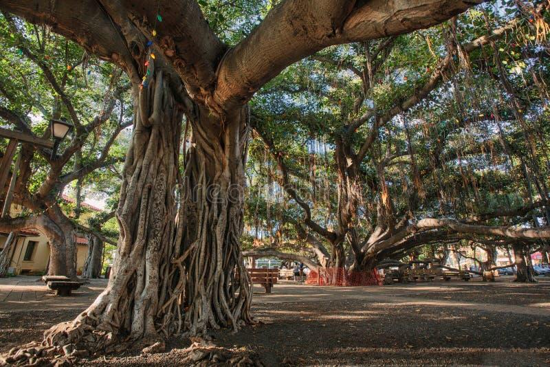 De Banyan-Boom in Lahaina Maui, HALLO stock afbeelding