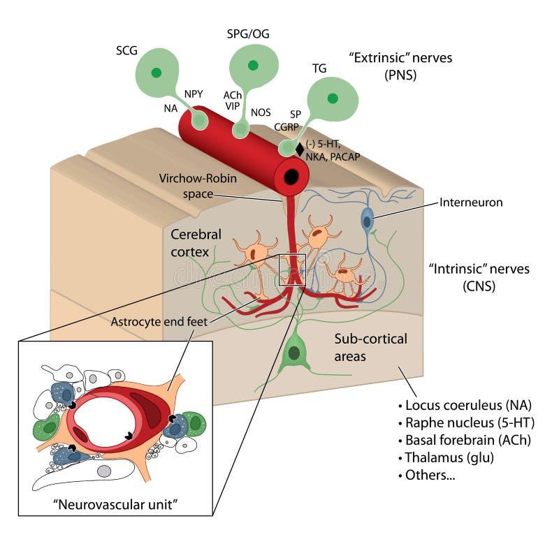 De barrière van bloedhersenen vector illustratie