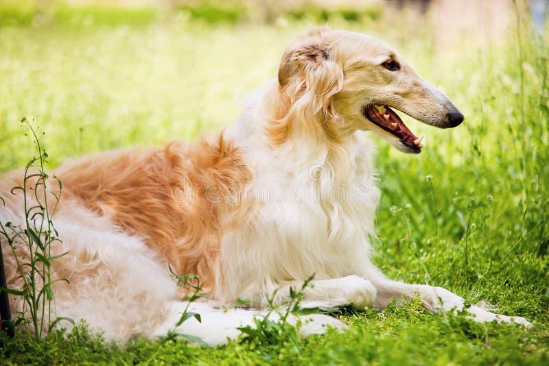 De barzoi (barzoi) is een ras van binnenlandse honden (Canis-wolfszweerfamiliaris) stock foto's