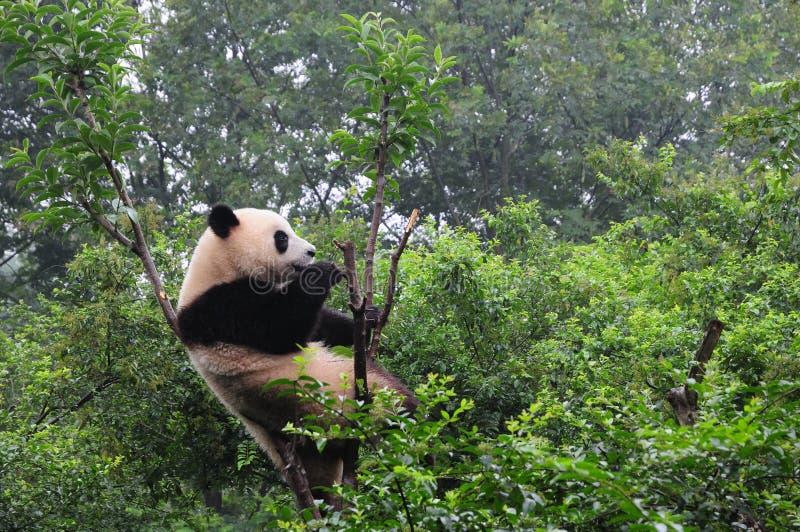 De basis van het Onderzoek Chengdu van het ReuzeFokken van de Panda stock foto's
