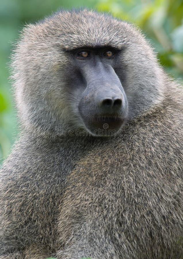 De baviaan van Olice royalty-vrije stock afbeeldingen