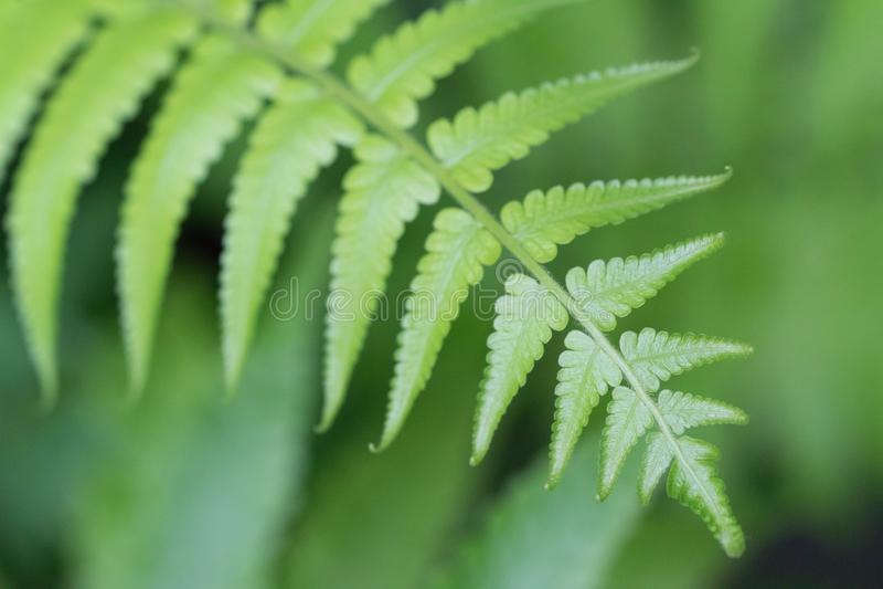 De Beautyfulvarens verlaat groen gebladerte natuurlijke bloemenvaren royalty-vrije stock foto