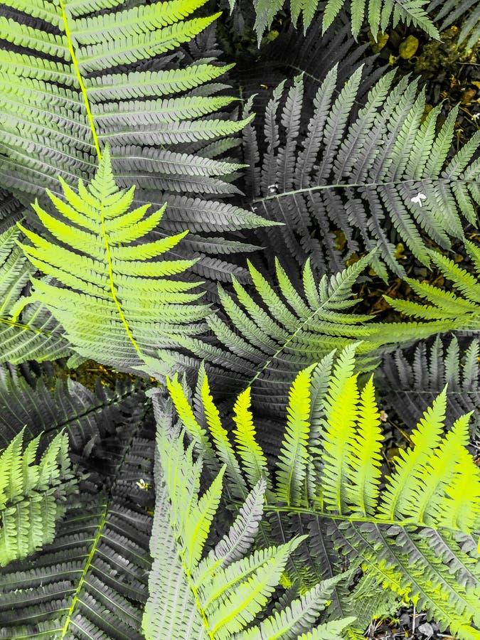 De Beautyfulvarens verlaat groen gebladerte natuurlijke bloemenvarenachtergrond in zonlicht stock afbeelding