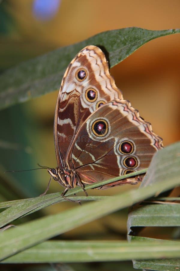 De beaux papillons, ils sont toujours un plaisir d'observer, facile et le battement doux s'envole le vol images libres de droits