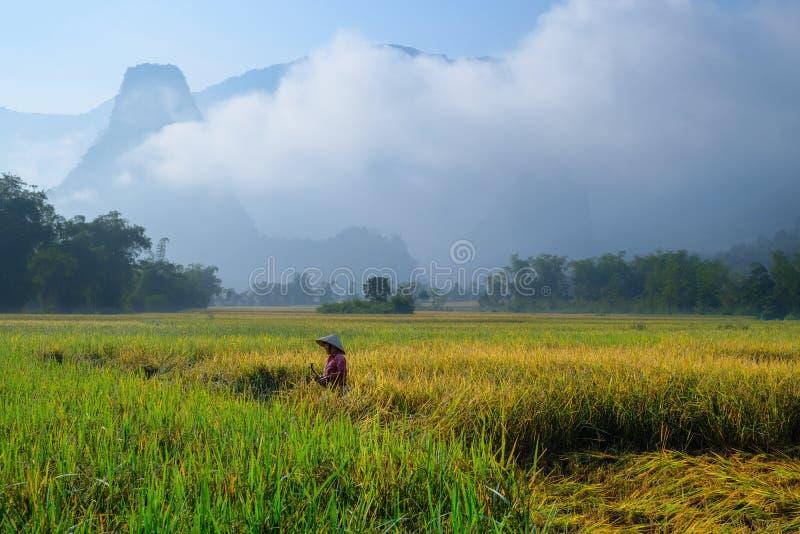 De bedelaars zijn Meren/Vietnam, 04/11/2017: De traditionele Vietnamese vrouw met kegelhoed het oogsten rijst voor mist behandeld royalty-vrije stock fotografie