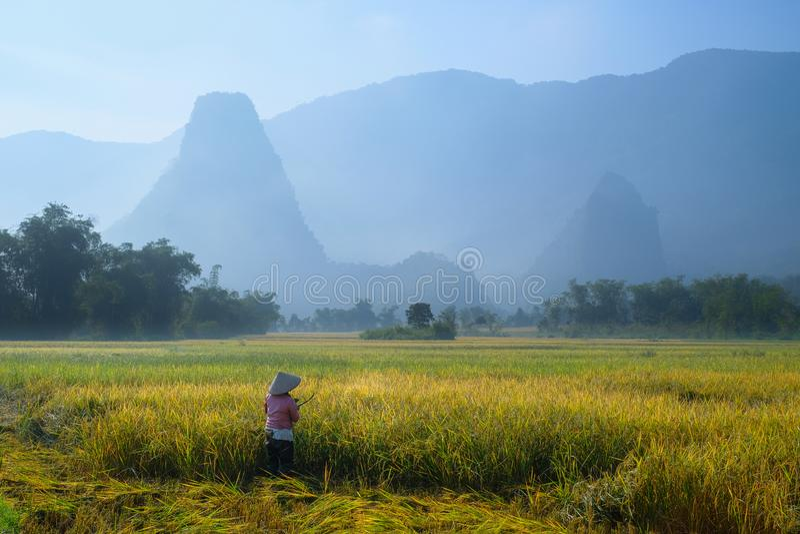 De bedelaars zijn Meren/Vietnam, 04/11/2017: De traditionele Vietnamese vrouw met kegelhoed het oogsten rijst voor mist behandeld stock afbeelding