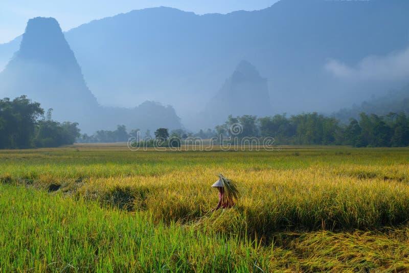 De bedelaars zijn Meren/Vietnam, 04/11/2017: De traditionele Vietnamese vrouw met kegelhoed het oogsten rijst voor mist behandeld stock fotografie