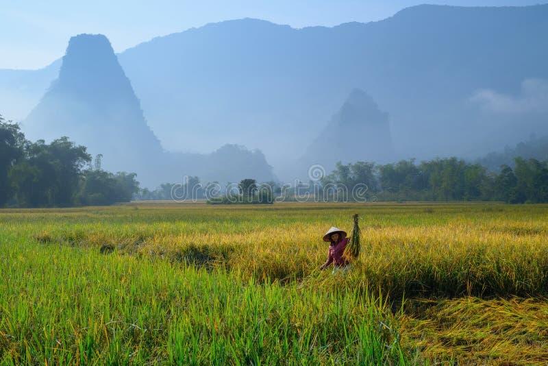 De bedelaars zijn Meren/Vietnam, 04/11/2017: De traditionele Vietnamese vrouw met kegelhoed het oogsten rijst voor mist behandeld stock afbeeldingen