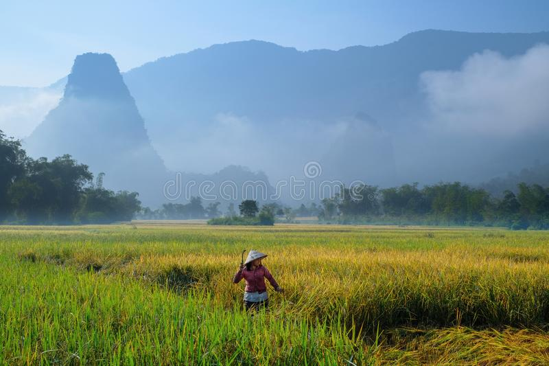 De bedelaars zijn Meren/Vietnam, 04/11/2017: De traditionele Vietnamese vrouw met kegelhoed het oogsten rijst voor mist behandeld royalty-vrije stock foto