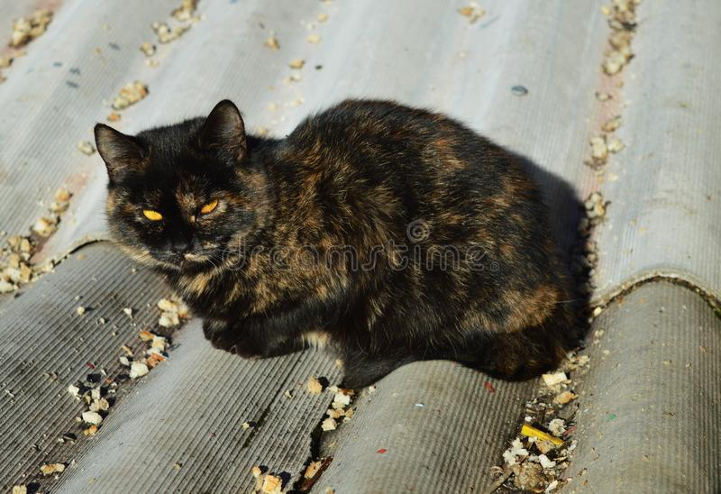 De bedoeling staart Mooie kat Kat op het dak Kat met gele ogen stock fotografie