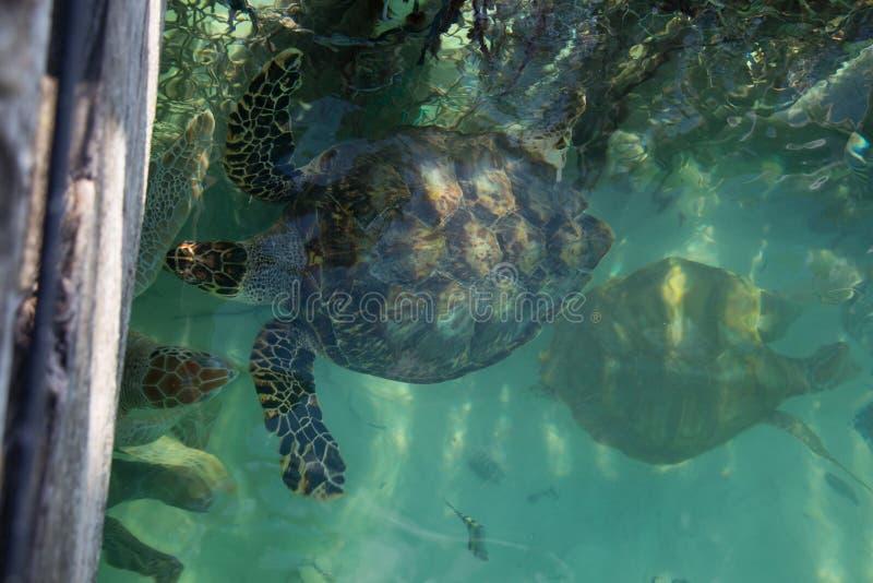 De bedreigde hawksbill zeeschildpadden die naast heiligdom drijven perken tropisch wintertalingswater in royalty-vrije stock afbeelding