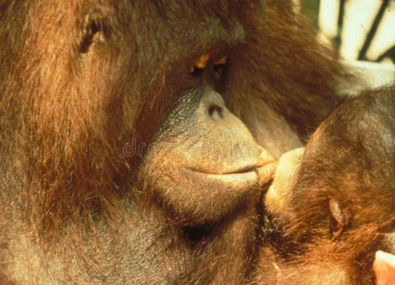 De bedreigde Moeder die van Utan van de speciesorang-oetan haar baby kussen stock foto's