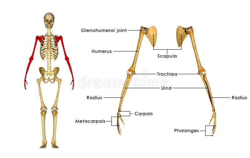 De beenderen van de skelethand vector illustratie