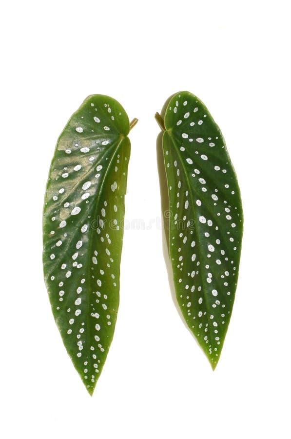 De begoniabladeren van de engelenvleugel op wit stock fotografie
