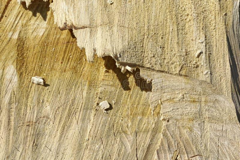 De beige fijne korrel geweven houten boomstam van a cutted boom royalty-vrije stock foto