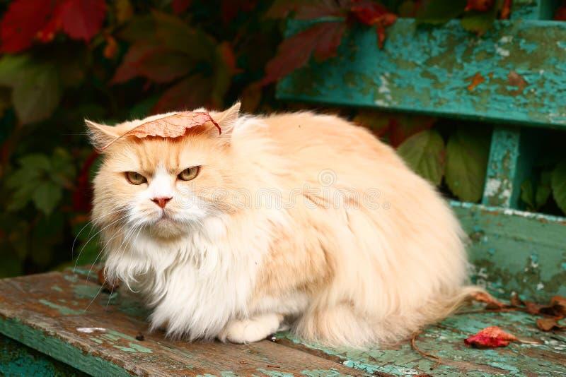 De beige Perzische kat zit op de bank royalty-vrije stock afbeeldingen