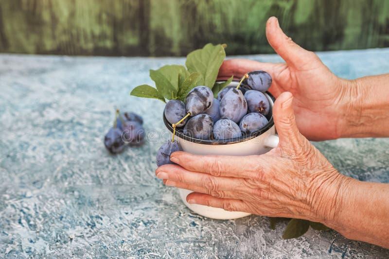 De bejaarde close-ups houden rijpe blauwe pruimen in een emailkop Het concept van het biologische productenpruim en exemplaar rui royalty-vrije stock afbeelding