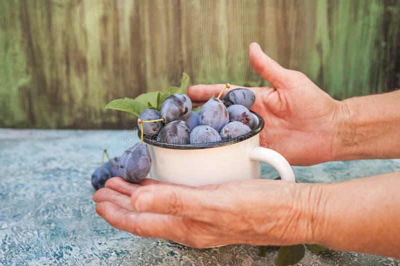 De bejaarde close-ups houden rijpe blauwe pruimen in een emailkop Het concept van het biologische productenpruim en exemplaar rui royalty-vrije stock foto