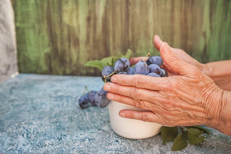 De bejaarde close-ups houden rijpe blauwe pruimen in een emailkop Het concept van het biologische productenpruim en exemplaar rui stock fotografie