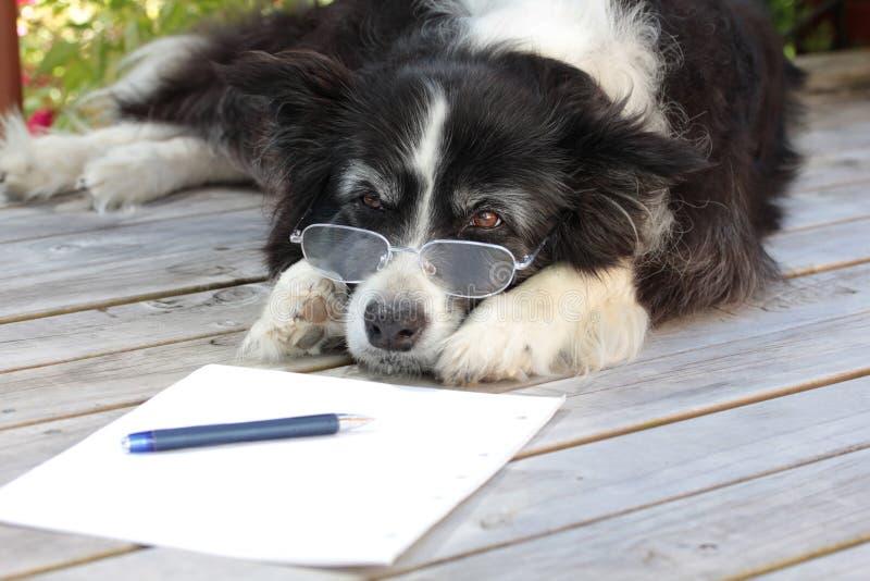 De bejaarde Teruggetrokken Hond van de Collie van de Grens met Bril stock foto