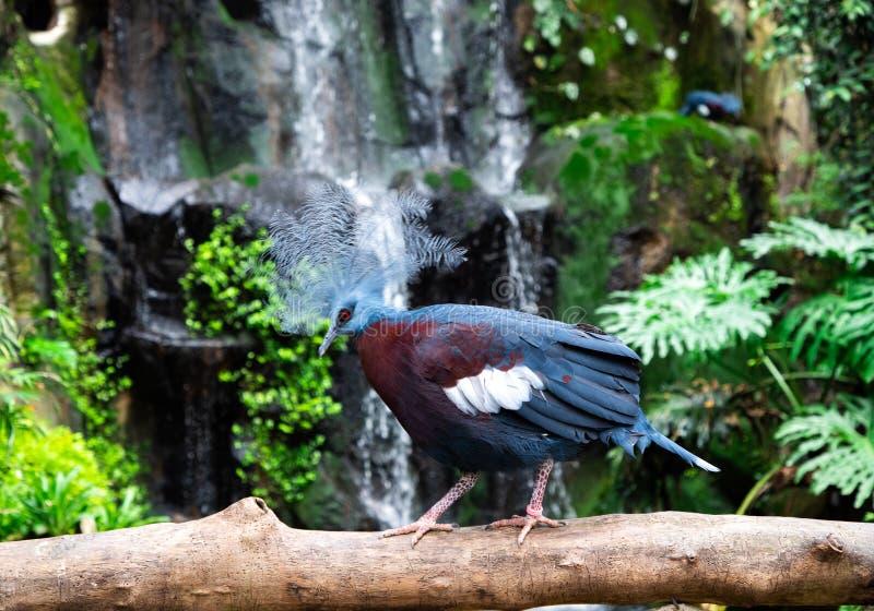 De bekroonde duiven Goura van nrew Guinea stock afbeeldingen
