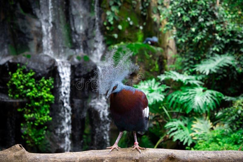De bekroonde duiven Goura van nrew Guinea stock afbeelding