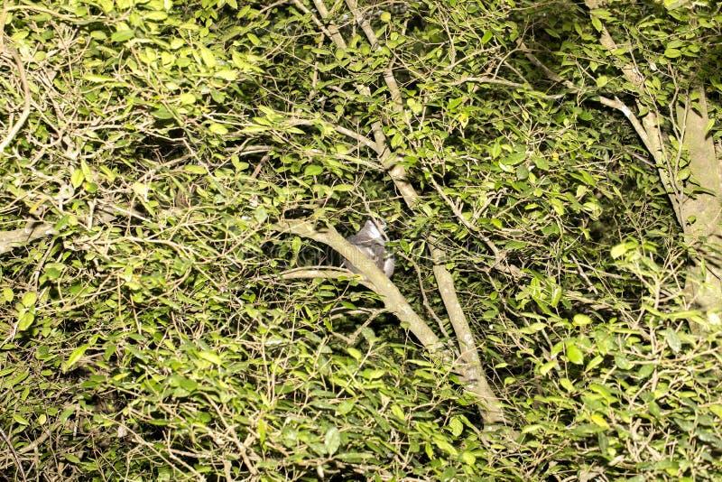 De bekroonde maki, Eulemur-coronatus, is bijna onzichtbaar in de bomen, Amberberg, Madagascar stock foto's