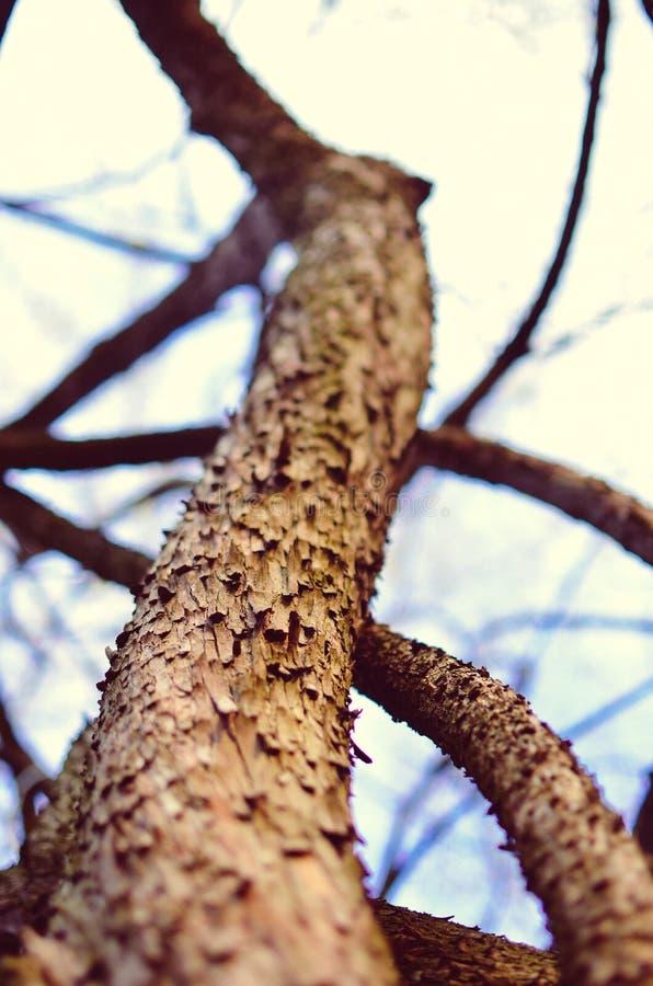 De belangrijkste boomstam van de boom met schors, het vertakken zich royalty-vrije stock foto