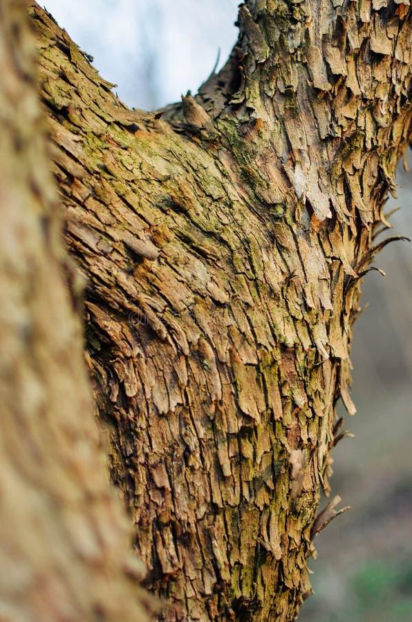 De belangrijkste boomstam van de boom met schors, het vertakken zich stock foto's