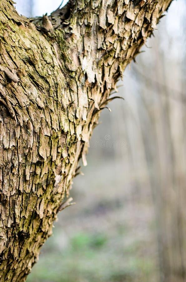 De belangrijkste boomstam van de boom met schors, het vertakken zich stock afbeelding