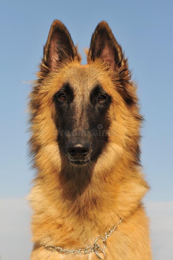 De Belgische herder tervueren stock foto's