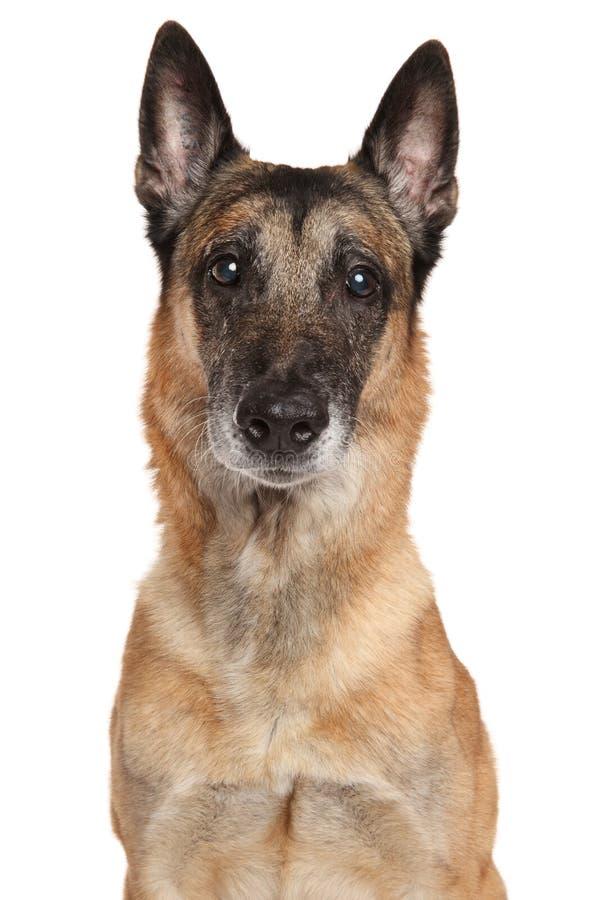 De Belgische Hond Malinois van de Herder royalty-vrije stock foto's