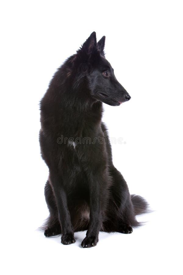 De Belgische Hond van de Herder royalty-vrije stock fotografie