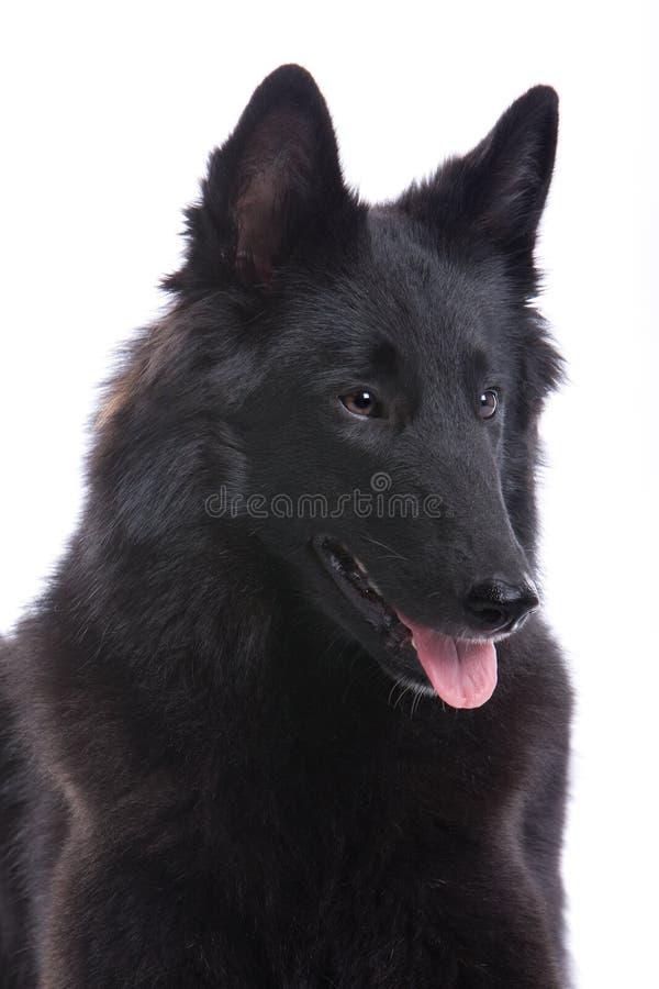 De Belgische Hond van de Herder royalty-vrije stock afbeelding