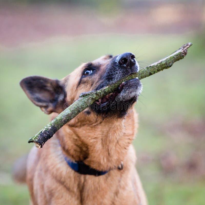 De Belgische Hond van de Herder royalty-vrije stock foto's