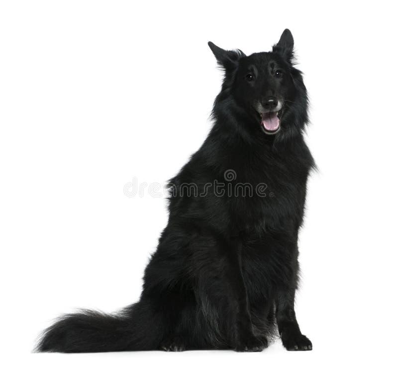 De Belgische hond van de Herder, Groenendael, 7 jaar oud stock foto's