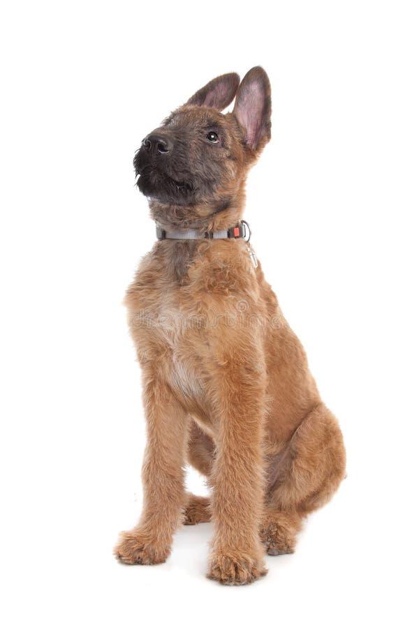 De Belgische Hond van de Herder, Laekenois royalty-vrije stock fotografie