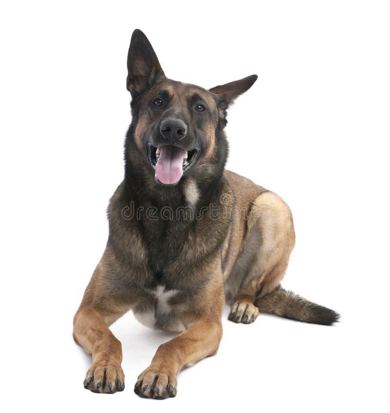 De Belgische Hond van de Herder (Malinois) (2 jaar oud) stock afbeelding