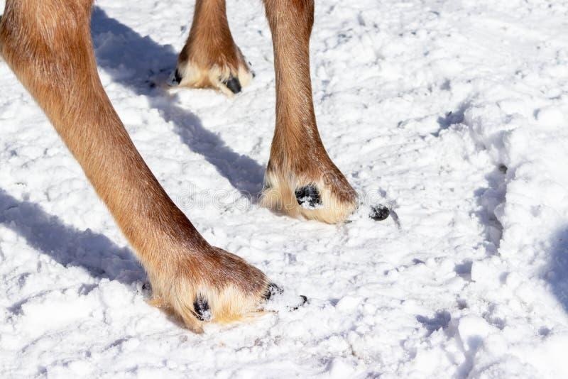 De benen en hoofs van een noordelijk rendier die zich op de wintersneeuw bevinden, sluiten omhoog royalty-vrije stock afbeeldingen