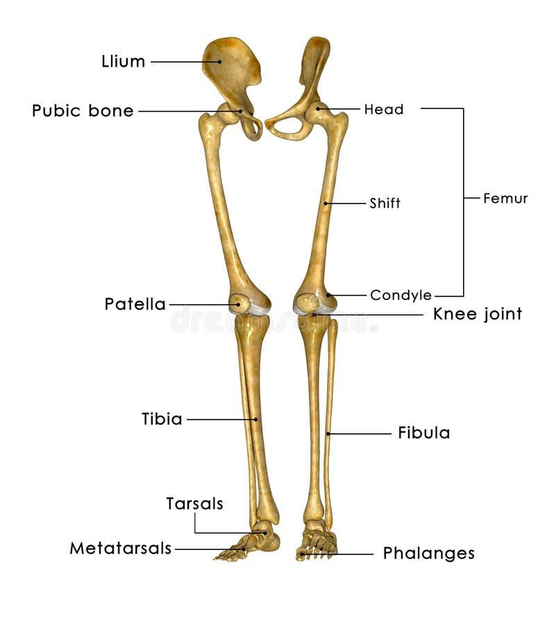 De benen van het skelet stock illustratie. Illustratie bestaande uit ...