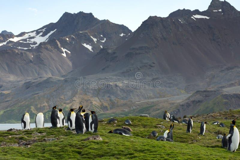 De Bergen van koningspenguins against rugged stock afbeelding