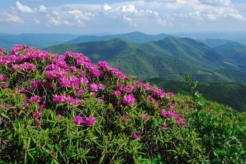 De Bergen van Noord-Carolina met Rododendron Catawba stock foto