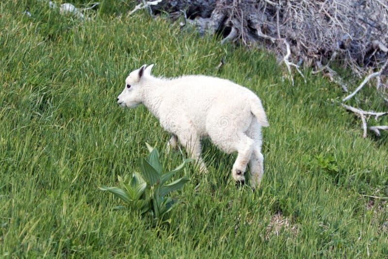 De Berggeit die van het babyjonge geitje omhoog grasrijk heuveltje op Orkaanheuvel/Rand in Olympisch Nationaal Park in Washington stock fotografie