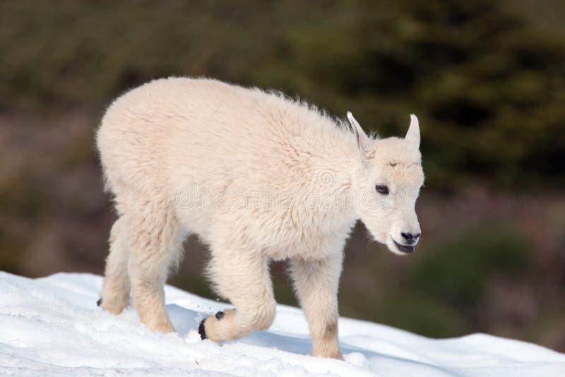 De Berggeit die van het babyjonge geitje uit zijn tong op een Orkaanheuvel showfield plakken in Olympisch Nationaal Park in Washi stock foto