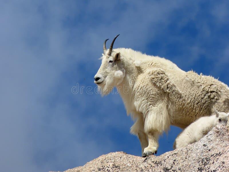 De Berggeit en Jong geitje van Colorado stock foto